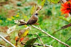 Musfåglar Royaltyfri Fotografi