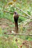 Musfåglar Royaltyfria Foton