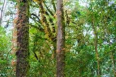 Musgo, árbol del helecho en Ang Ka Luang Nature Trail Foto de archivo libre de regalías