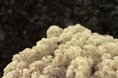 Musgo ártico da montanha Foto de Stock