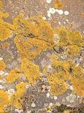 Musgo amarelo em uma superfície da rocha Imagem de Stock Royalty Free