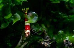 Musgo aquático isolado do behide vermelho da estada do camarão da abelha com fundo escuro e verde imagem de stock royalty free