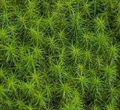 Musgo comum do cabelo imagem de stock