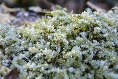 Musgo congelado Foto de archivo libre de regalías