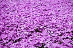 Musgo cor-de-rosa Fotos de Stock Royalty Free