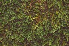Musgo da floresta na fotografia macro Mundo vivo Separate imagens de stock