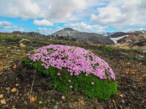 Musgo de florescência das flores cor-de-rosa minúsculas pequenas em Landmannalaugar, reserva natural de Fjallabak, montanhas de I imagens de stock