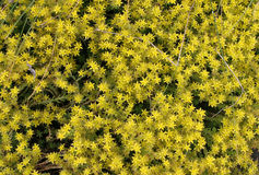 Musgo de florescência, sedum do stonecrop plantando para o projeto da paisagem Imagem de Stock
