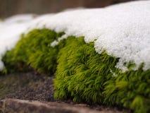 Musgo de Icey Imagem de Stock