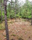 Musgo de los pinos del bosque de los árboles foto de archivo