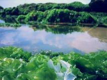 Musgo de mar Fotos de archivo