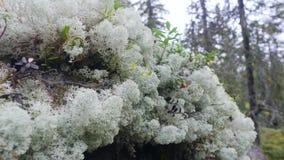 Musgo de reno blanco y arándanos rojos en el bosque 4k, macro del otoño a cámara lenta almacen de video