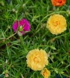 Musgo de Rose en jardín Fotos de archivo libres de regalías