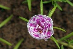 Musgo de Rose, flor extraña que se abre a las once Foto de archivo libre de regalías