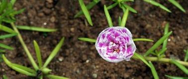 Musgo de Rose, flor extraña que se abre a las once Fotografía de archivo libre de regalías