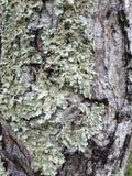 Musgo del árbol Fotografía de archivo libre de regalías