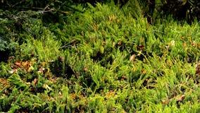Musgo del abeto, planta medicinal en un bosque en Alemania almacen de video