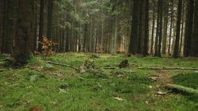 Musgo del alonga del movimiento de la cámara en un bosque spruce metrajes