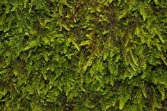 Musgo del bosque en fotograf?a macra Mundo vivo Separate fotos de archivo libres de regalías