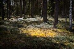Musgo del bosque en rayos de sol Fotografía de archivo