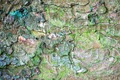 Musgo del grenn de la textura de la corteza del pino cubierto Fotografía de archivo libre de regalías