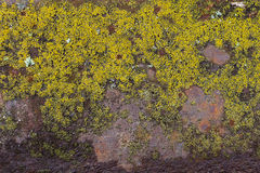 Musgo del molde verde en la pared del metal Imagen de archivo