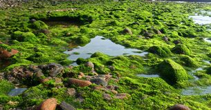 Musgo del océano Fotografía de archivo