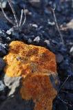 Musgo 4 do líquene do amarelo de Fuerteventura Imagens de Stock