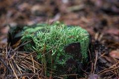 Musgo e agulhas no cânhamo Close up de uma floresta Imagem de Stock