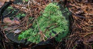Musgo e agulhas no cânhamo Close up de uma floresta Foto de Stock