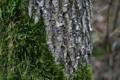 Musgo e casca da árvore Fotografia de Stock