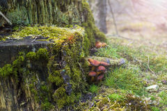 Musgo e cogumelos Imagens de Stock Royalty Free