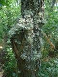 Musgo e líquene de madeira Imagem de Stock Royalty Free