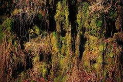 Musgo e Lichen Hanging Down das raizes da árvore na montanha imagem de stock