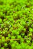 Musgo e Spores Fotografia de Stock Royalty Free