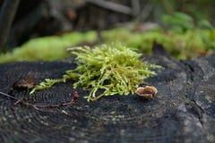 Musgo em um coto de árvore Imagens de Stock Royalty Free