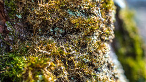 Musgo em uma árvore na mola Akademgorodok Imagens de Stock
