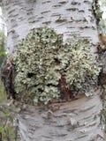 Musgo en árbol Foto de archivo libre de regalías