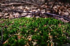Musgo en alguna parte en bosques Fotos de archivo libres de regalías