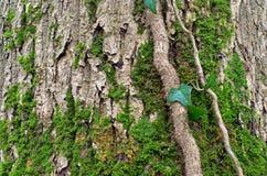 Musgo en corteza de árbol Imagen de archivo libre de regalías