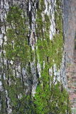 Musgo en corteza de árbol Imagen de archivo