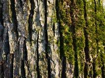 Musgo en corteza de árbol Imágenes de archivo libres de regalías