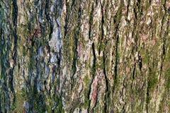 Musgo en corteza de árbol Foto de archivo
