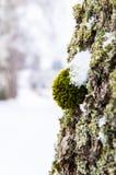 Musgo en el árbol Fotografía de archivo libre de regalías