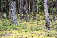 Musgo en el bosque Imágenes de archivo libres de regalías