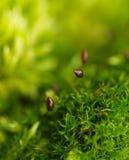 Musgo en flor Imágenes de archivo libres de regalías