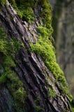 Musgo en la corteza de árbol Imágenes de archivo libres de regalías