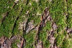 Musgo en la corteza, textura natural de la corteza arbolada Fotografía de archivo