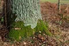 Musgo en la parte inferior del tronco de árbol en bosque Fotografía de archivo