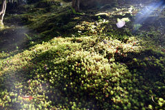 Musgo en la tierra en el jardín de Yoshikien, Nara Fotografía de archivo libre de regalías